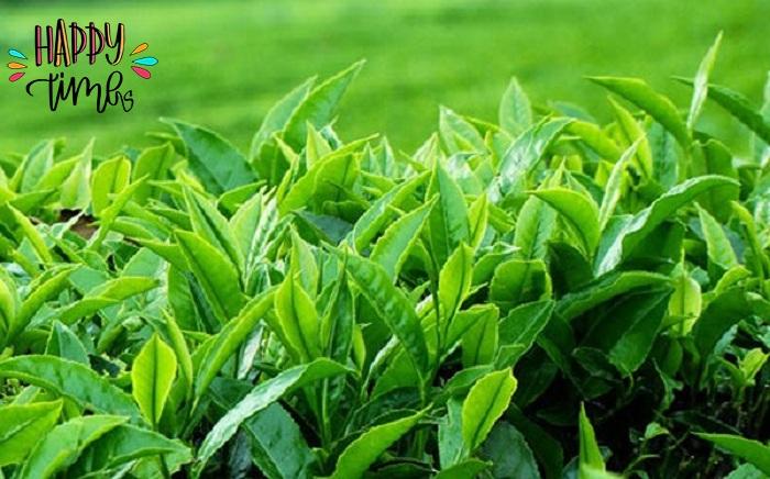 trà xanh tân cương thái nguyên